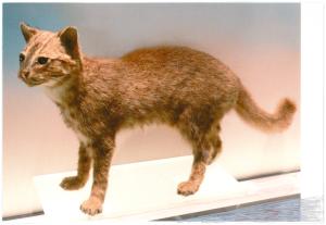 Iriomote-Katze von Corinna